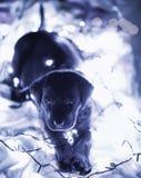Perrito negro joven de Labrador imagenes de archivo