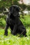 Perrito negro lindo de Labrador que se sienta en la hierba Foto de archivo