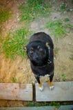 Perrito negro que mira a la cámara Imágenes de archivo libres de regalías