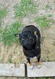 Perrito negro que mira a la cámara Foto de archivo