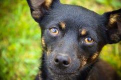 Perrito negro que mira a la cámara Foto de archivo libre de regalías