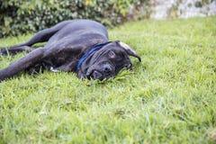 Perrito negro que pone en césped fotografía de archivo