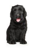 Perrito negro ruso del terrier Fotos de archivo