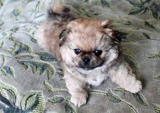 Perrito pekinés en la alfombra Imagen de archivo libre de regalías