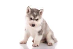 Perrito perjudicado del husky siberiano fotos de archivo
