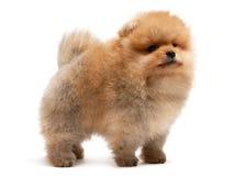 Perrito pomeranian derecho del perro de Pomerania Fotos de archivo