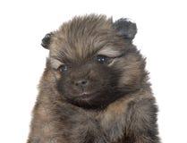 Perrito pomeranian en estudio Foto de archivo libre de regalías