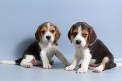 perrito puro del beagle de la raza de 1 mes Imagenes de archivo