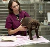 Perrito que consigue sus vacunaciones Fotografía de archivo
