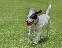 Perrito que corre en la hierba fotos de archivo libres de regalías