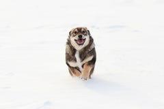 Perrito que corre a través de la nieve Foto de archivo libre de regalías