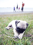 Perrito que juega con el palillo Fotos de archivo