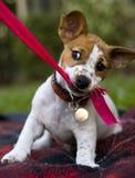 Perrito que juega con la cinta Foto de archivo libre de regalías