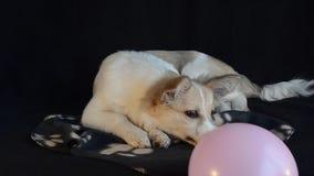 Perrito que juega con un globo, fondo negro metrajes