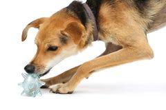 Perrito que juega con un juguete Fotografía de archivo libre de regalías