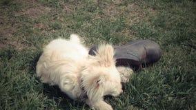 Perrito que juega con una bota vieja metrajes
