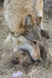 Perrito que lleva del lobo femenino de palabra Fotografía de archivo