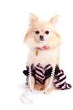 Perrito quisquilloso de Pomeranian Fotos de archivo