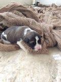 Perrito recién nacido Fotografía de archivo libre de regalías