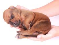Perrito recién nacido en manos del niño fotos de archivo