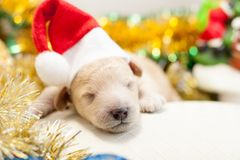 Perrito recién nacido en un casquillo rojo Foto de archivo libre de regalías