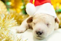 Perrito recién nacido en un casquillo rojo Fotos de archivo libres de regalías