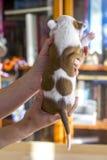 Perrito recién nacido, Staffordshire Terrier americano Imágenes de archivo libres de regalías