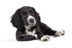 Perrito relajado lindo del perro de aguas imagen de archivo