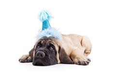 Perrito rendido del partido del mastín Fotografía de archivo libre de regalías