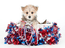 Perrito rojo, blanco y azul Foto de archivo