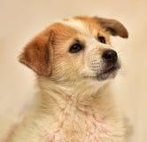 Perrito rojo y blanco Foto de archivo libre de regalías
