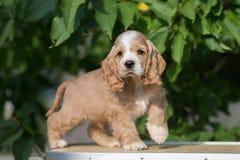 Perrito rojo y blanco de cocker spaniel del americano Imagenes de archivo