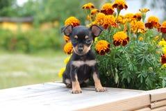 Perrito ruso miniatura del terrier de juguete con las flores Foto de archivo
