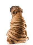Perrito shar chino del pei Imágenes de archivo libres de regalías