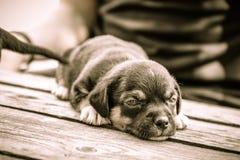 Perrito soñoliento en la tabla de madera Fotografía de archivo