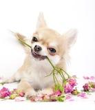 Perrito sonriente de la chihuahua que da rosas rosadas Fotografía de archivo