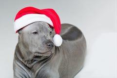 Perrito tailandés del ridgeback en sombrero de Navidad Imágenes de archivo libres de regalías