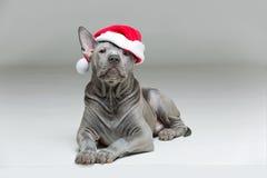 Perrito tailandés del ridgeback en sombrero de Navidad Foto de archivo libre de regalías