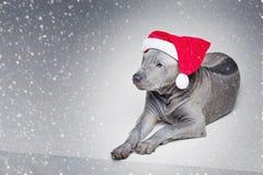 Perrito tailandés del ridgeback en sombrero de Navidad Imagen de archivo