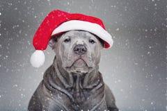 Perrito tailandés del ridgeback en sombrero de Navidad Fotos de archivo
