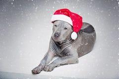 Perrito tailandés del ridgeback en sombrero de Navidad Imagen de archivo libre de regalías
