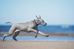 Perrito tailandés del ridgeback que corre en una playa Imagen de archivo