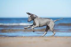 Perrito tailandés del ridgeback que corre en una playa Fotografía de archivo