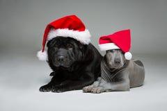 Perrito tailandés del ridgeback y perro shar del pei Foto de archivo libre de regalías