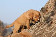 Perrito tocante del perro perdiguero del pato de Nueva Escocia Fotos de archivo libres de regalías