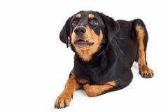 Perrito trastornado del híbrido de Rottweiler que mira para arriba Imagen de archivo