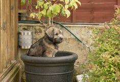 Perrito travieso del terrier que se sienta en un pote de la planta de jardín foto de archivo