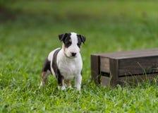 Perrito tricolor de bull terrier que coloca la caja cercana Fotos de archivo