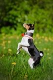 Perrito tricolor del basenji al aire libre Foto de archivo