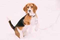 Perrito tricolor hermoso del beagle inglés que juega en nieve en el día de invierno Foto de archivo